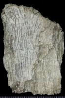 Auloporida