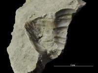 Asaphus (Neoasaphus) lepidus Törnquist, 1884, GIT 435-19