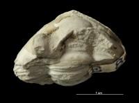 Asaphus (Neoasaphus) lepidus Törnquist, 1884, GIT 435-20