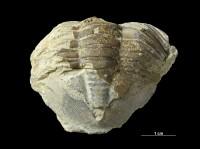 Asaphus lepidurus Nieszkowski, 1859, GIT 435-27