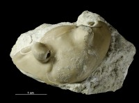Asaphus (Neoasaphus) ornatus Pompekij, 1890, GIT 435-29