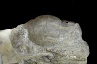Symphysurus sp., GIT 437-418