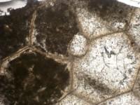 Chaetosalpinx sibiriensis (Sokolov, 1948), GIT 440-428-2