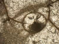 Chaetosalpinx sibiriensis (Sokolov, 1948), GIT 440-508-1