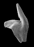 Baltoniodus variabilis (Bergström, 1962), GIT 449-27