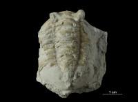 Asaphus sp., GIT 453-757
