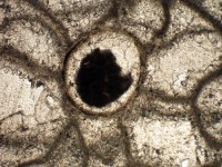 Chaetosalpinx sibiriensis (Sokolov, 1948), GIT 481-65-2