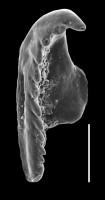 Annelida