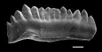 Ozarkodina polinclinata polinclinata (Nicoll et Rexroad, 1968), GIT 493-50