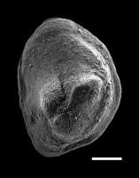 Pseudooneotodus tricornis Drygant, 1974, GIT 493-55