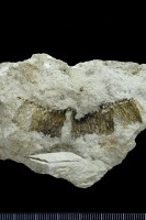 Cephalodiscida