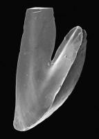 Drepanoistodus cf. forceps (Lindström, 1955), GIT 495-12