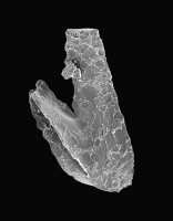 Drepanoistodus cf. forceps (Lindström, 1955), GIT 495-38
