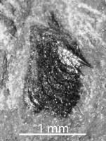 Osteichthyes