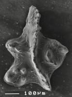 Apsidognathus milleri (Over et Chatterton, 1987), GIT 511-10