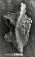 Apsidognathus tuberculatus ssp. n. 1 Männik, 2007, GIT 511-15