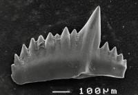 Pterospathodus amorphognathoides lithuanicus Brazauskas, 1983, GIT 511-17