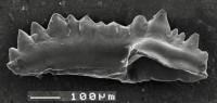 Pterospathodus celloni (Walliser, 1964), GIT 511-18