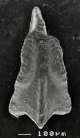 Apsidognathus tuberculatus ssp. n. 2 Männik, 2007, GIT 511-2