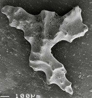 Aulacognathus bullatus (Nicoll et Rexroad, 1969), GIT 511-33