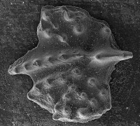 Apsidognathus walmsleyi Aldridge, 1974, GIT 511-34