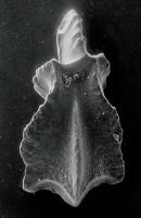 Apsidognathus walmsleyi Aldridge, 1974, GIT 511-35