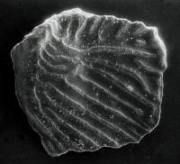 Apsidognathus ruginosus Mabillard et Aldridge, 1983, GIT 511-38