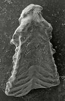 Apsidognathus ruginosus Mabillard et Aldridge, 1983, GIT 511-39