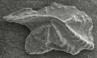 Apsidognathus ruginosus Mabillard et Aldridge, 1983, GIT 511-40