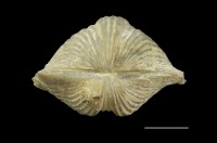 Neoplatystrophia lutkevichi satura (Oraspõld, 1959), GIT 525-286