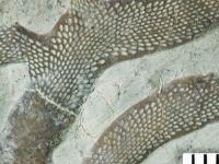 Pachydictya sp., GIT 533-1