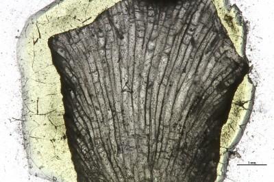 Eridotrypa aedilis (Eichwald,1860), GIT 537-1084