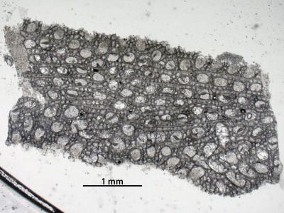 Nematotrypa gracilis Bassler, 1911, GIT 537-1964