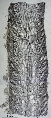 Nematotrypa gracilis Bassler, 1911, GIT 537-1966