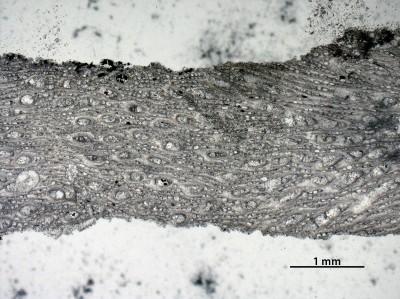 Nematotrypa gracilis Bassler, 1911, GIT 537-1967