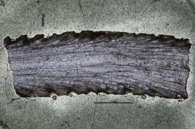 Eridotrypa aedilis (Eichwald,1860), GIT 537-48