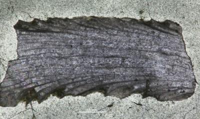 Eridotrypa aedilis (Eichwald,1860), GIT 537-49