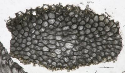 Eridotrypa aedilis (Eichwald,1855), GIT 537-521