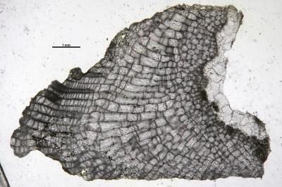 Heterotrypa praenuntia simplex (Ulrich, 1893), GIT 537-535