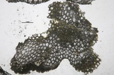 Eridotrypa aedilis (Eichwald,1855), GIT 537-733