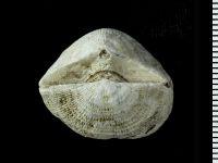 Clitambonites sp., GIT 543-15