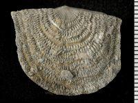 Brachiopoda