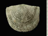 Clitambonites sp., GIT 543-2