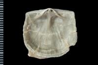 Clitambonites sp., GIT 543-3