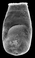 <i>Bursachitina nestorae Mullins et Loydell, 2001</i><br />Kolka 54 borehole, 596.90 m, Adavere Stage