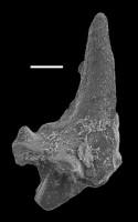 Aphelognathus sp., GIT 551-11