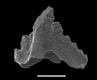 Pranognathus tenuis (Aldridge, 1972), GIT 551-25