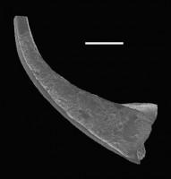 Walliserodus sp. n. C. Loydell et al., 2010, GIT 566-31