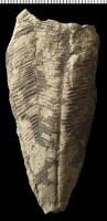 Conularia (Plectoconularia) orthoceratophila Roemer, GIT 575-16
