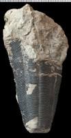 Conularia (Plectoconularia) orthoceratophila Roemer, GIT 575-3